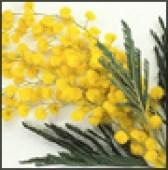 LINEA DONNA - Mimose